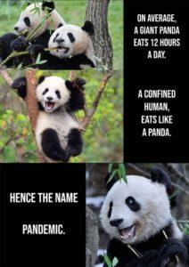 Panda eating during a pandemic